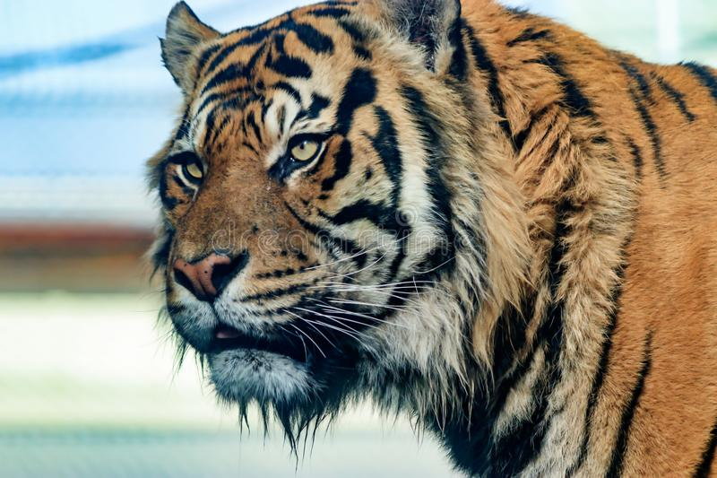 Portrait of tiger with blurred background. Portrait of large tiger staring with blurred background royalty free stock images
