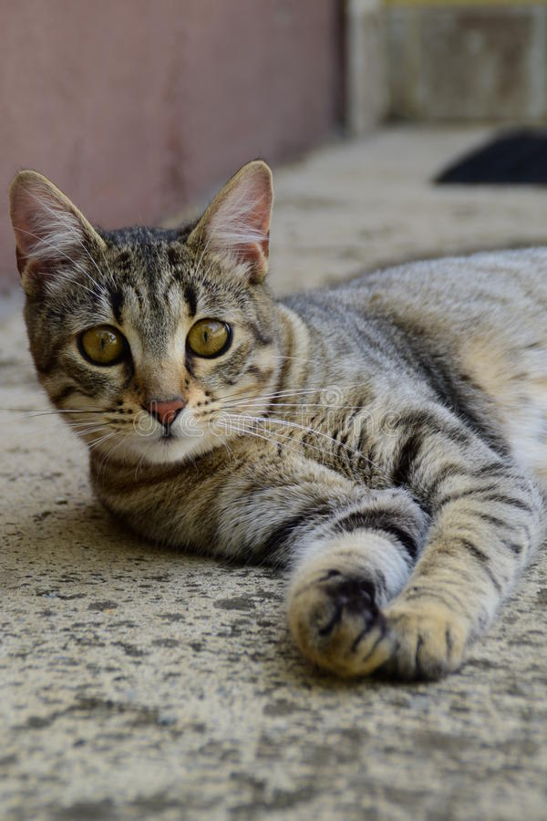 Portrait of a tiger cat with yellow eyes lying on a concrete floor, cat on the left side of photo. A portrait of a tiger cat with yellow eyes lying on a concrete royalty free stock photo