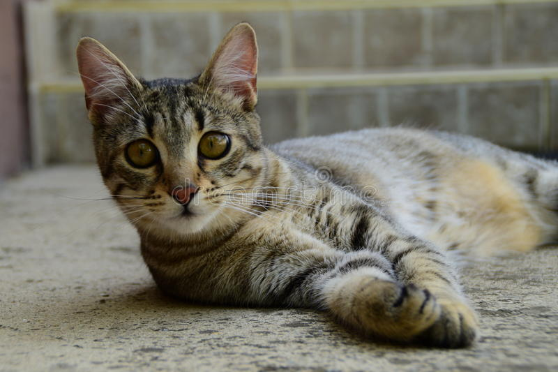 Portrait of a tiger cat with yellow eyes lying on a concrete floor, cat on the left side of photo. A portrait of a tiger cat with yellow eyes lying on a concrete royalty free stock image