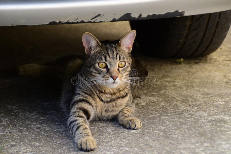 Portrait of a tiger cat with yellow eyes lying under the car, cat on the left side of photo. A portrait of a tiger cat with yellow eyes lying under the car, cat royalty free stock photo