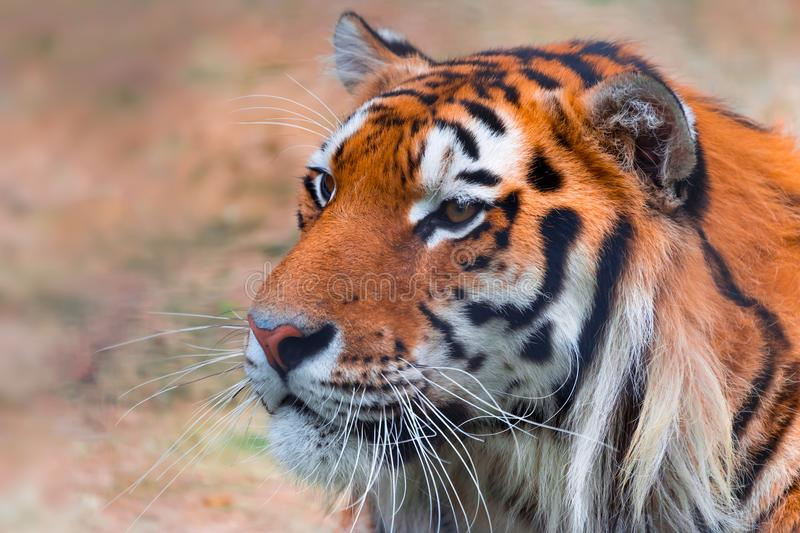 Portrait of a tiger close-up, blurred background. Portrait of a tiger close up stock photos