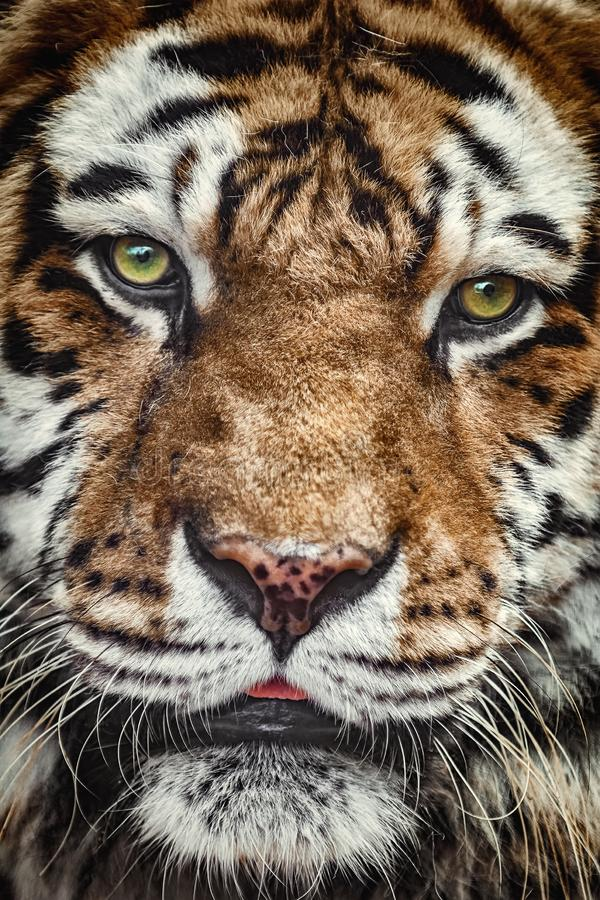 Portrait of Tiger. Close Up Portrait of Tiger Looking Ahead stock photo