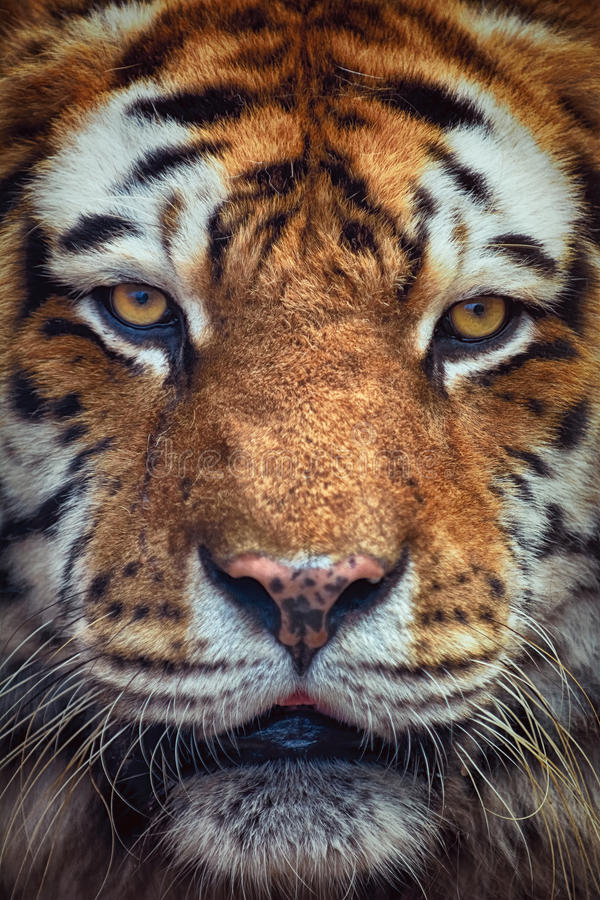 Portrait of Tiger. Close Up Portrait of Tiger Looking Ahead royalty free stock images