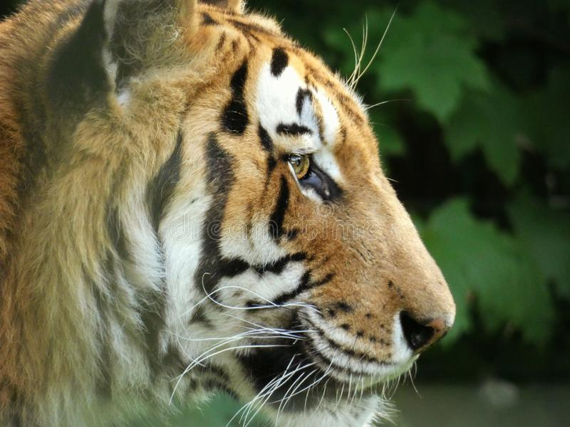 Portrait of a tiger. Closeup, eye, stripes, orange, animal, wildlife, beautiful, nature, zoo, dangerous royalty free stock images