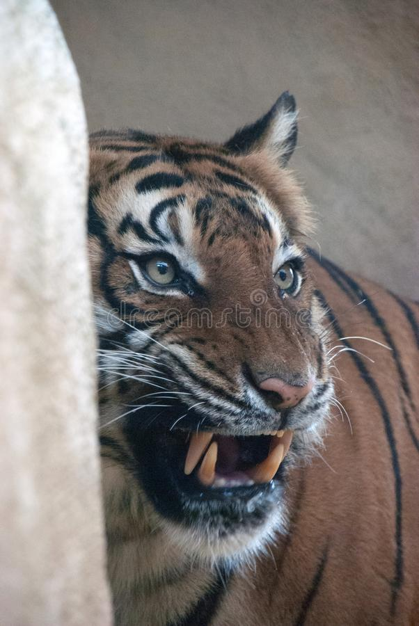 Portrait of a tiger growling at something. Showing it`s teeth stock photo