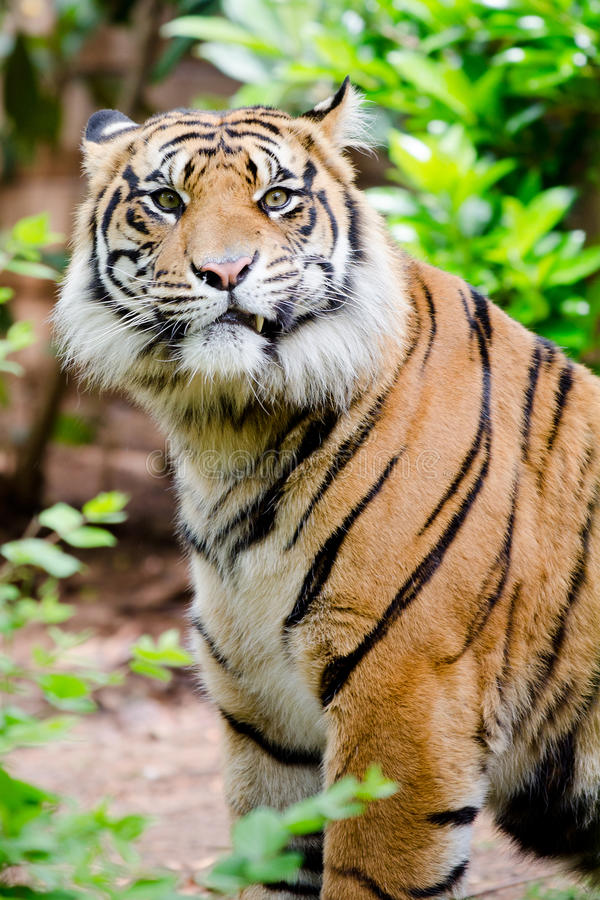Portrait of tiger. With humorous expression royalty free stock photography