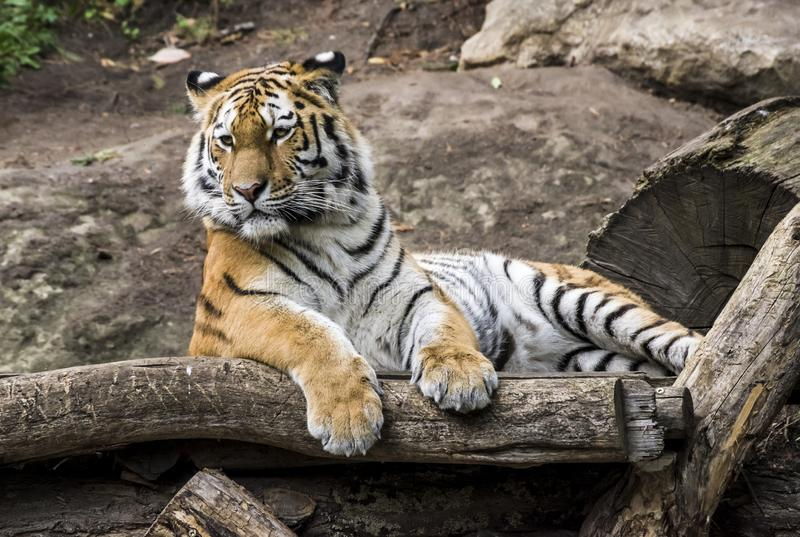 Portrait of a tiger lying on a tree. Zoo in Leipzig 2018 stock image