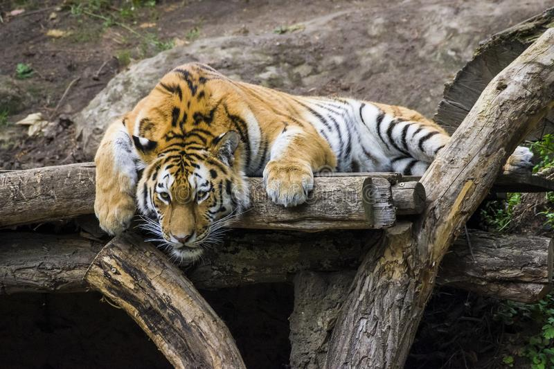 Portrait of a tiger lying on a tree. Zoo in Leipzig 2018 royalty free stock image