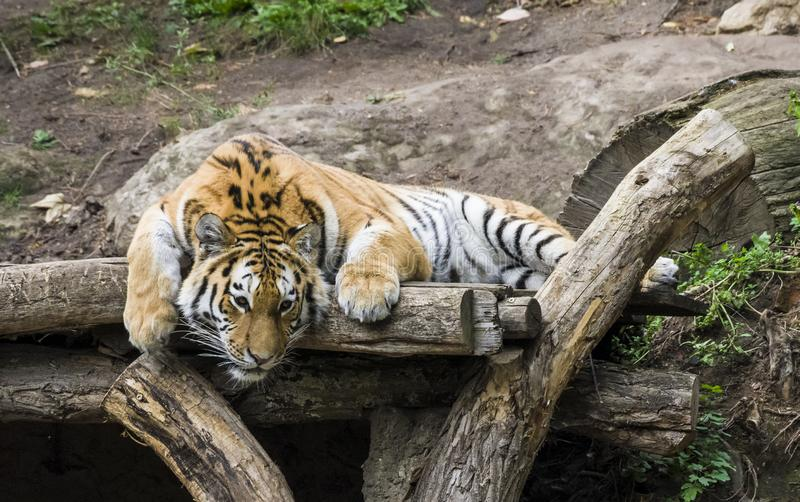 Portrait of a tiger lying on a tree. Zoo in Leipzig 2018 royalty free stock images