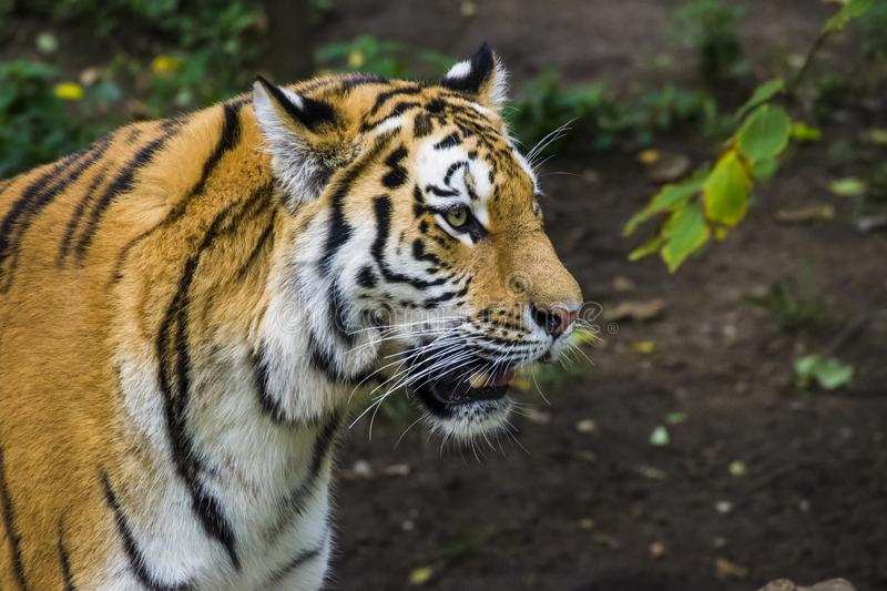 Portrait of a tiger. Portrait of a tiger lying on a tree. Zoo in Leipzig 2018 royalty free stock image