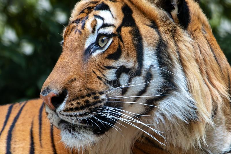 Portrait of the Tiger malayan. Tigris panthera jacksoni in nature on green background stock photography