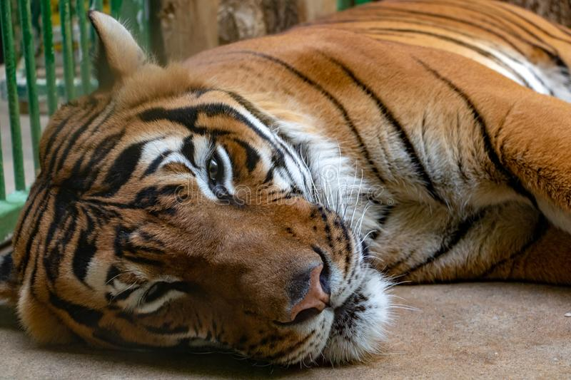 Portrait of the Tiger malayan. Tigris panthera lying in the cage stock image