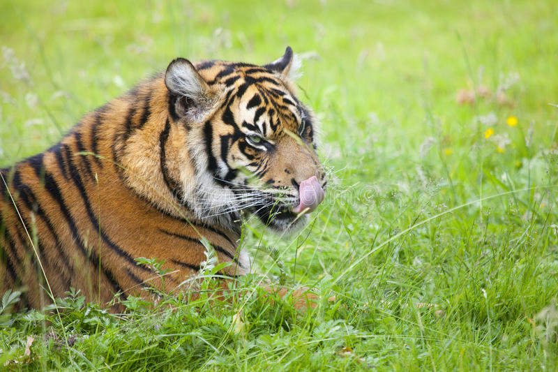 Portrait of a tiger. Outdoor in a green meadow royalty free stock photo