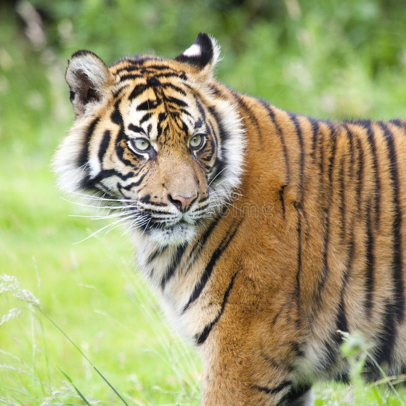 Portrait of a tiger. Outdoor in a green meadow royalty free stock photos
