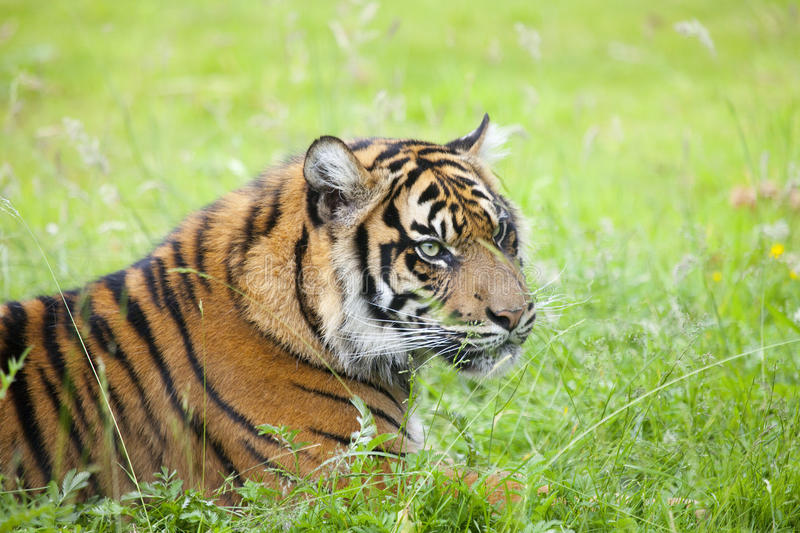 Portrait of a tiger. Outdoor in a green meadow royalty free stock images