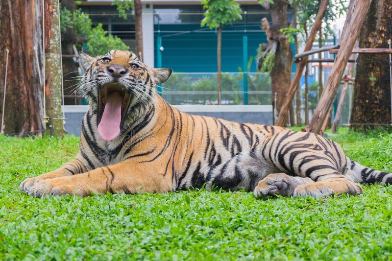 Portrait of a tiger Panthera tigris is roaring.  royalty free stock photography