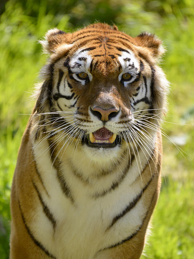 Portrait tiger. Portrait of tiger (Panthera tigris) seen from front royalty free stock image