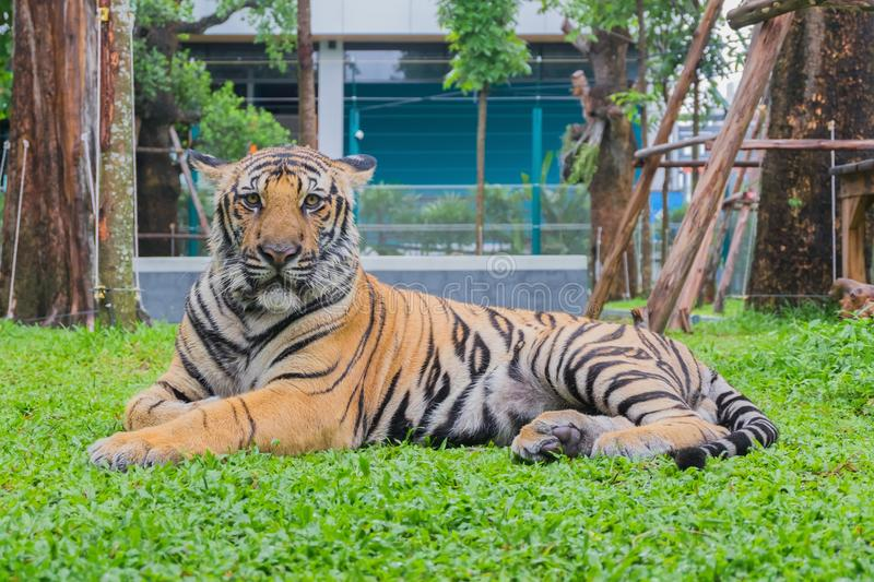 Portrait of a tiger Panthera tigris is sitting.  royalty free stock images