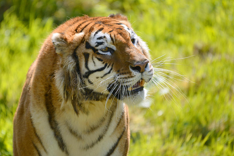 Portrait of tiger. (Panthera tigris royalty free stock photography