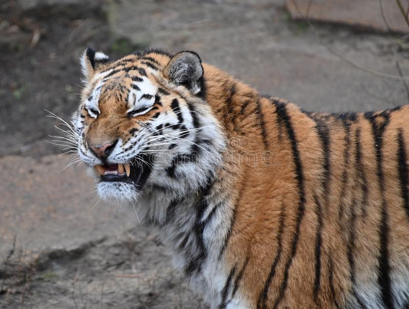 A portrait of a tiger. Portrait of a ferocious tiger waiting to attack a prey royalty free stock image
