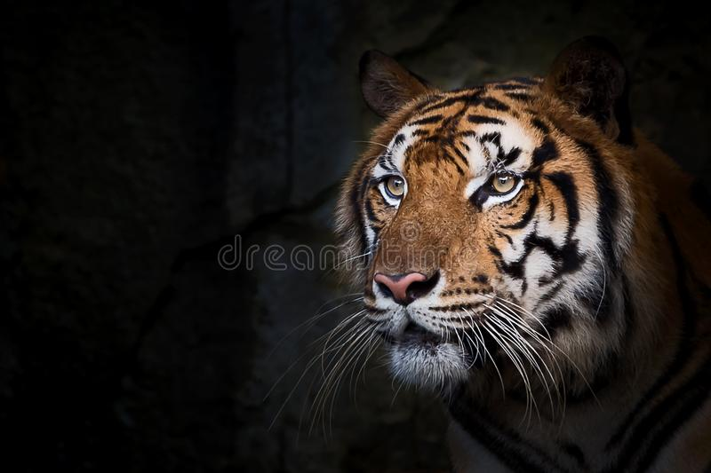 Portrait of tiger. Portrait of standing adult Indochinese tiger outdoors. Panthera tigris corbetti in the natural habitat, wild dangerous animal in the natural stock images