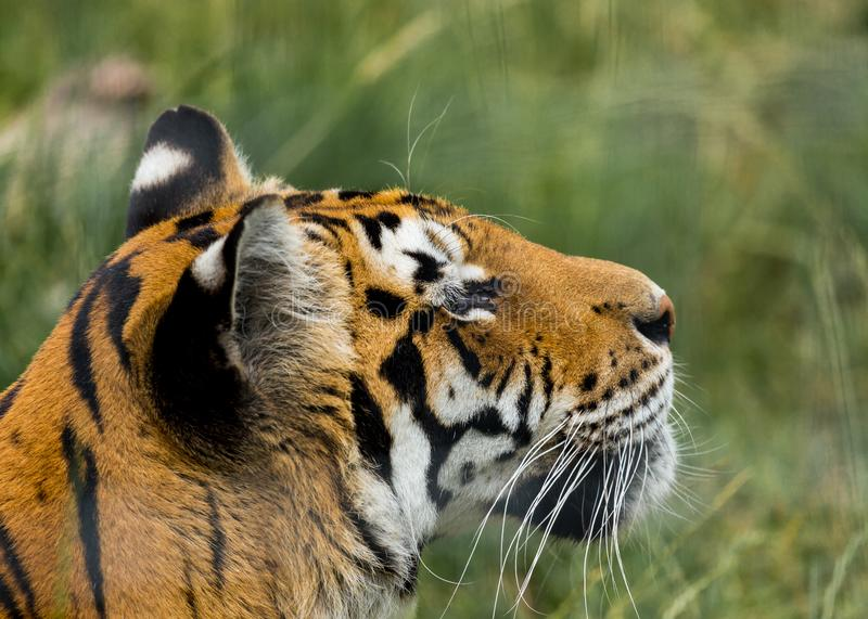 Portrait of a Tiger. Portrait of a Tiger held in captivity royalty free stock image