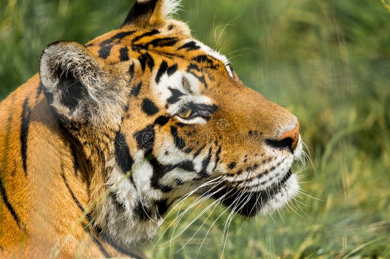Portrait of a Tiger. Portrait of a Tiger held in captivity stock photo