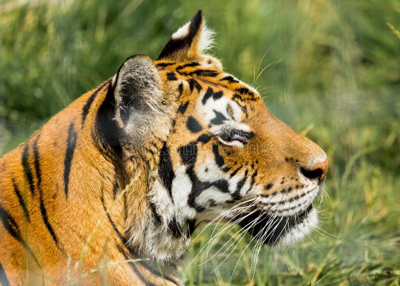 Portrait of a Tiger. Portrait of a Tiger held in captivity stock photos