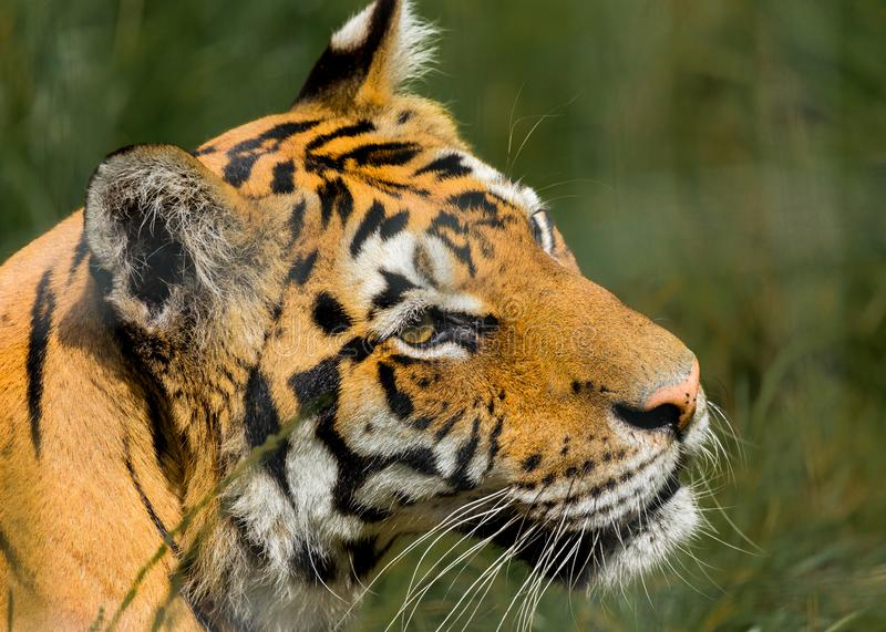 Portrait of a Tiger. Portrait of a Tiger held in captivity stock image