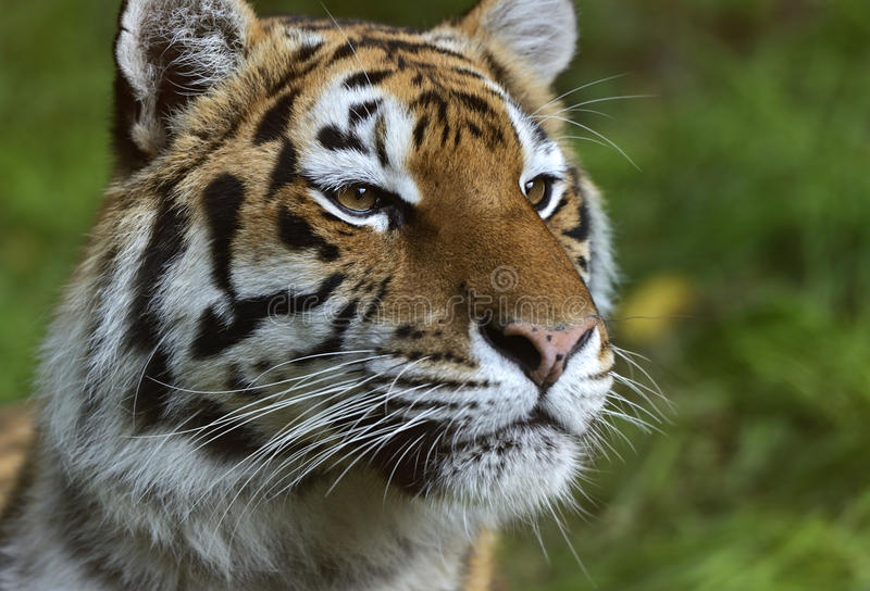 Portrait of a tiger. In the summer royalty free stock images