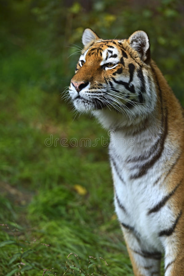 Portrait of a tiger. In the summer royalty free stock photo