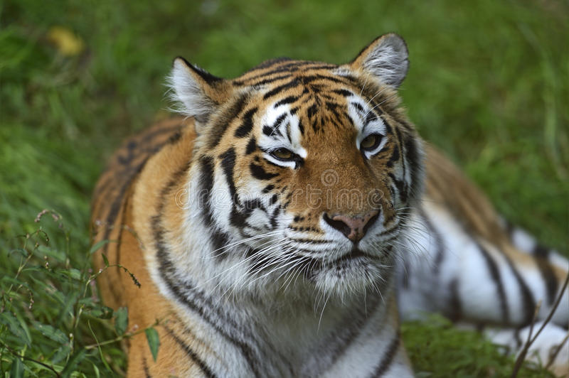 Portrait of a tiger. In the summer royalty free stock image