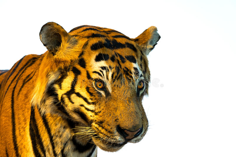 Portrait of tiger, tiger face.isolated on white background.  royalty free stock photography