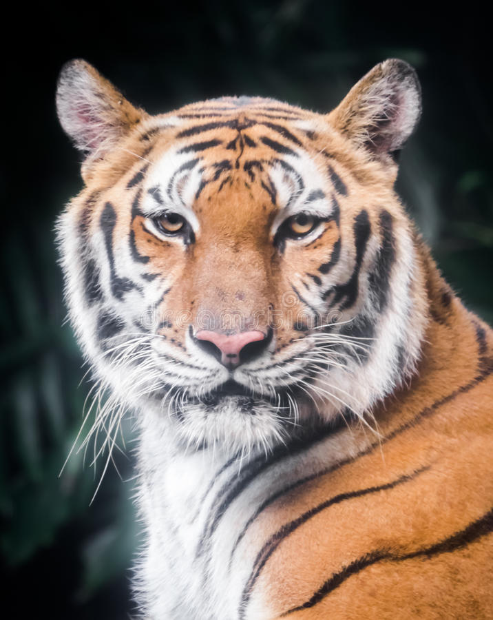 Portrait of tiger. Portrait of a tiger who is looking at you royalty free stock photo