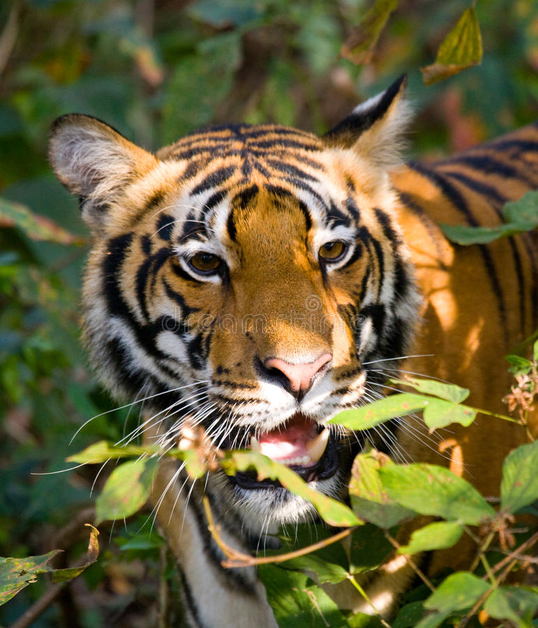 Portrait of a tiger in the wild. India. Bandhavgarh National Park. Madhya Pradesh. An excellent illustration stock image