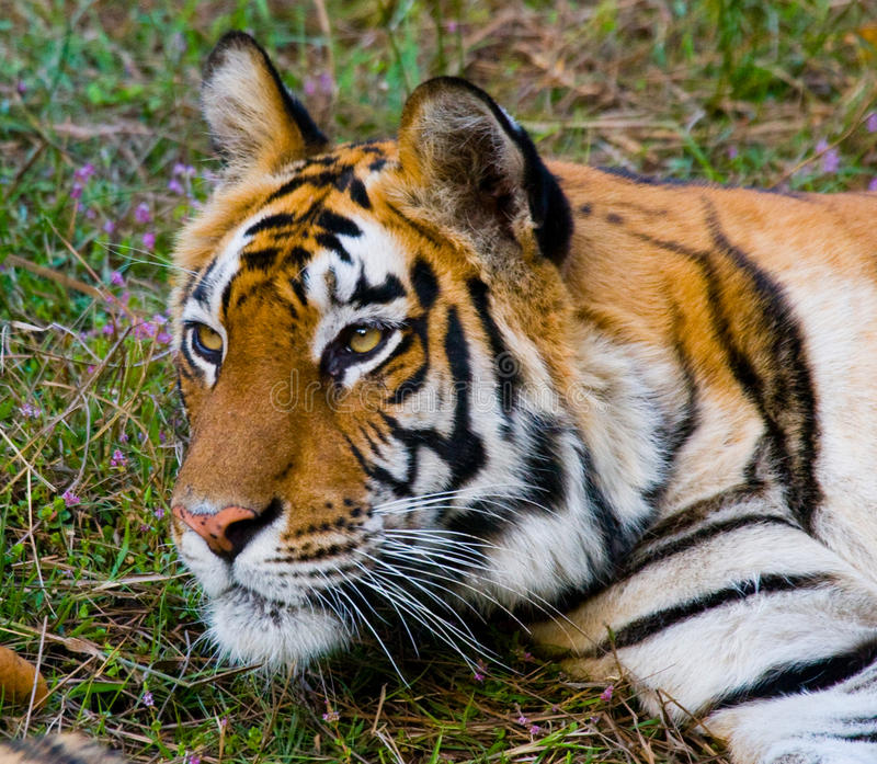 Portrait of a tiger in the wild. India. Bandhavgarh National Park. Madhya Pradesh. An excellent illustration royalty free stock photo