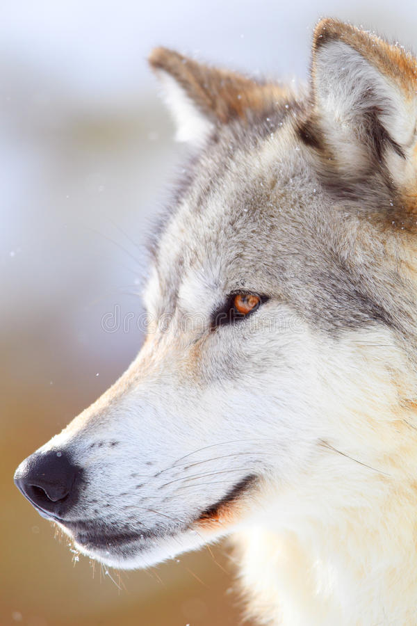 Portrait of timber wolf royalty free stock image