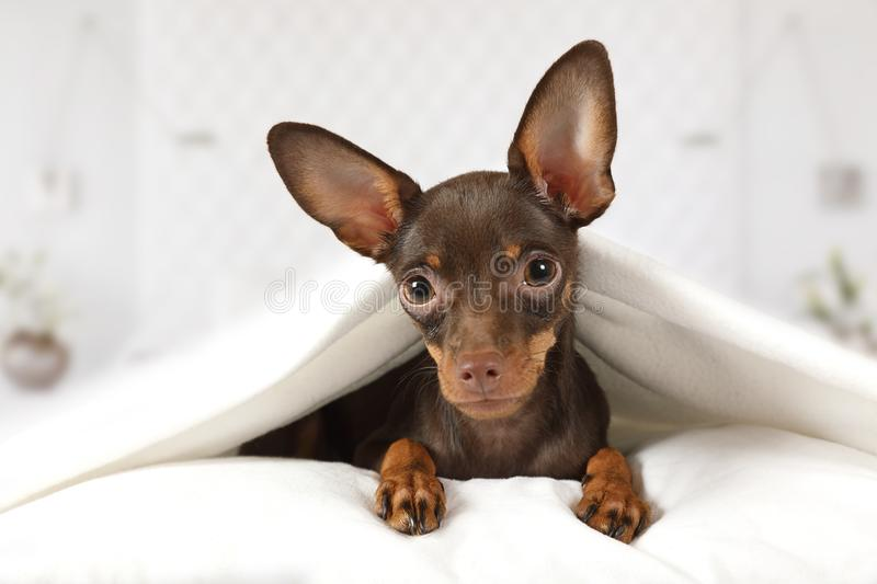 Portrait of a toy Terrier puppy dog in a bed. Portrait of a purebred four month old toy Terrier puppy dog lying in a bed under blanket in the bedroom stock images