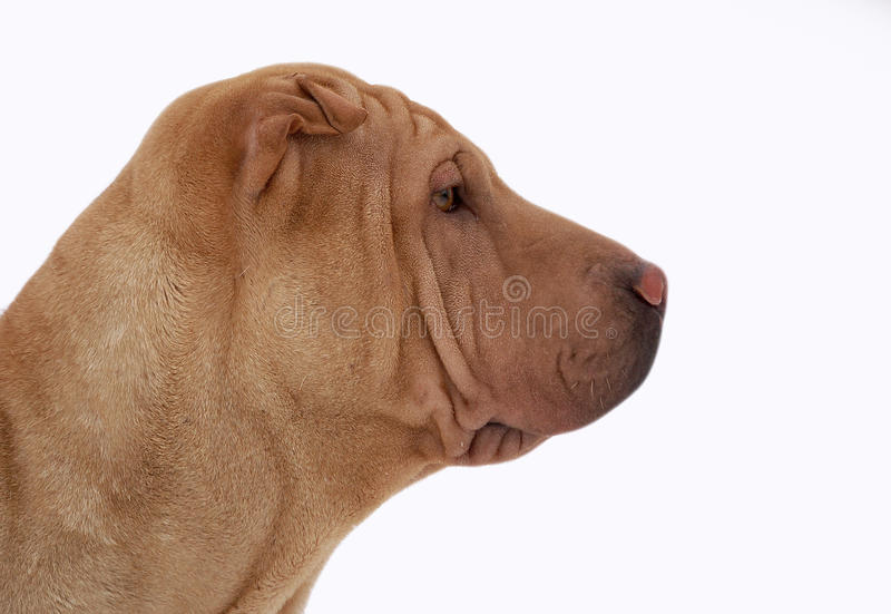 Download Portrait About A Traditionail Sharpei Stock Photo - Image: 24754632
