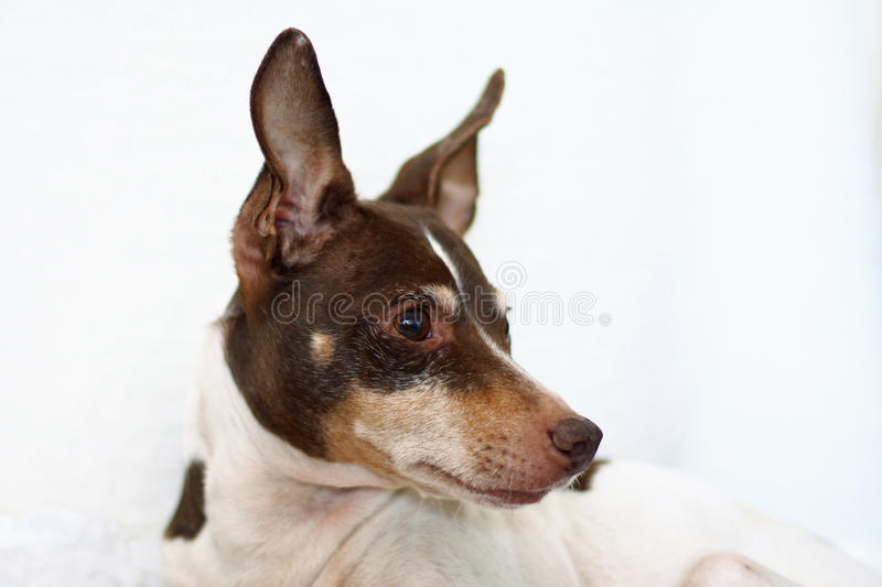 Portrait of tri-color rat terrier. Portrait of a small rat terrier on a white blanket. Dog is older and has a graying face. Dog is white with chocolate and tan stock photography