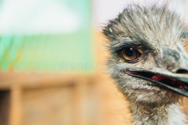 Portrait triste d'émeu d'autruche d'une distance courte images stock