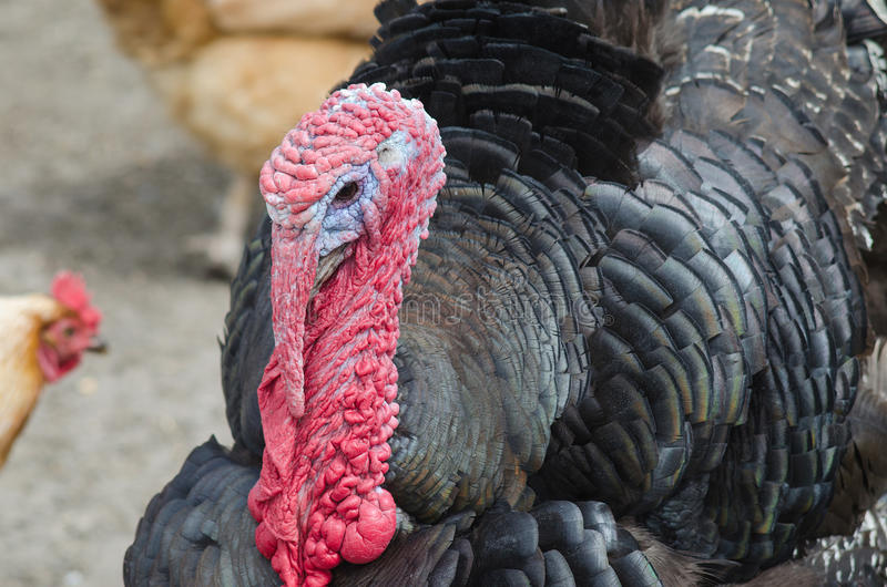 Portrait of a turkey with a big red appendage on the head. Turkey closeup royalty free stock photography