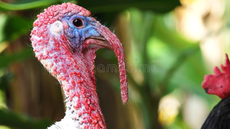 Portrait of a turkey in the nature at sunset time. turkey at the farm. bird head closeup. Funny Turkey Head. nature and wildlife royalty free stock photography