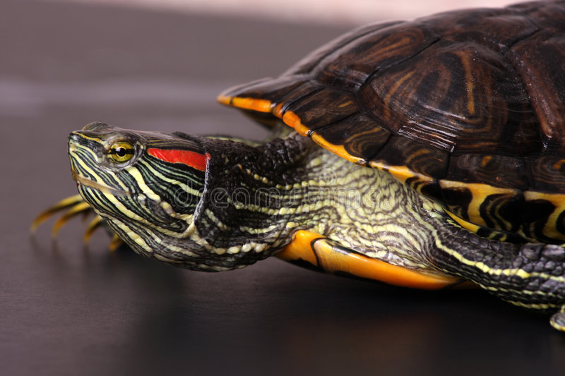 Portrait of turtle royalty free stock images