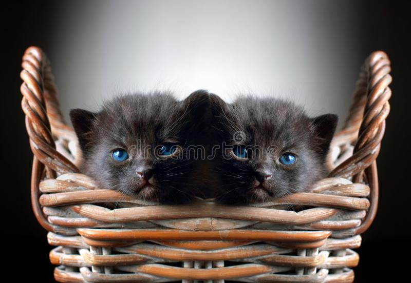 Two Adorable Black Kittens in Basket royalty free stock photography