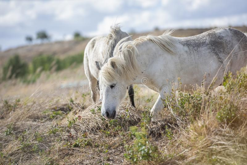 Two appaloosa pony horses with beautiful mane in nature. royalty free stock image