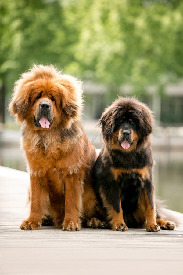 portrait of two beautiful happy Tibetan mastiff dog. green park on background royalty free stock photos