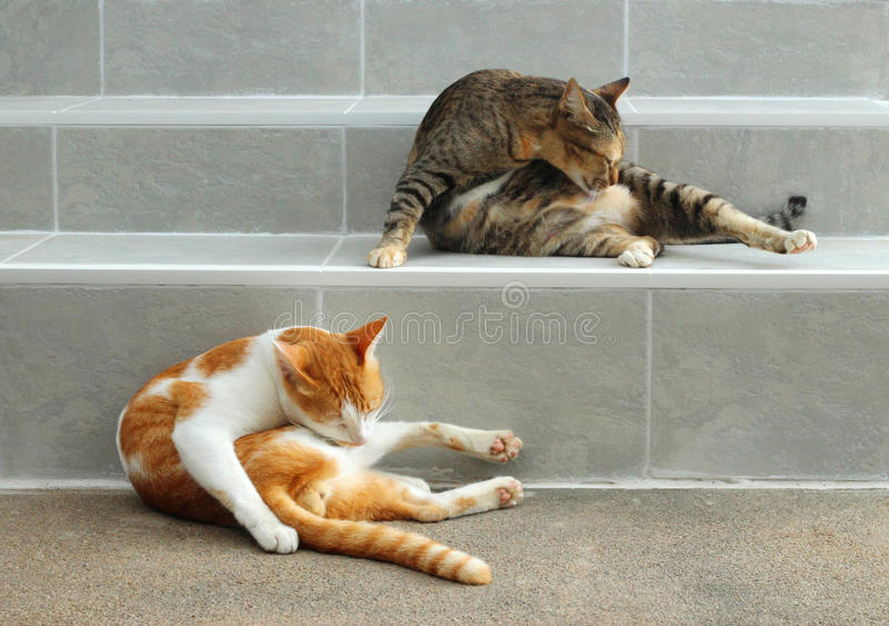 Portrait of two cats royalty free stock photo