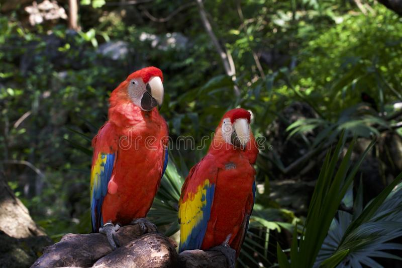 Portrait of two colorful macaws in the jungle royalty free stock images