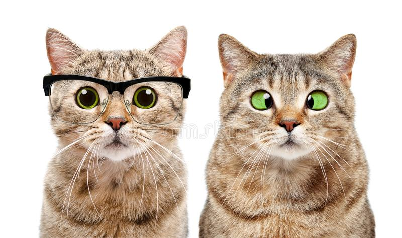 Portrait of two cute cats with eye diseases. Isolated on white background royalty free stock photo